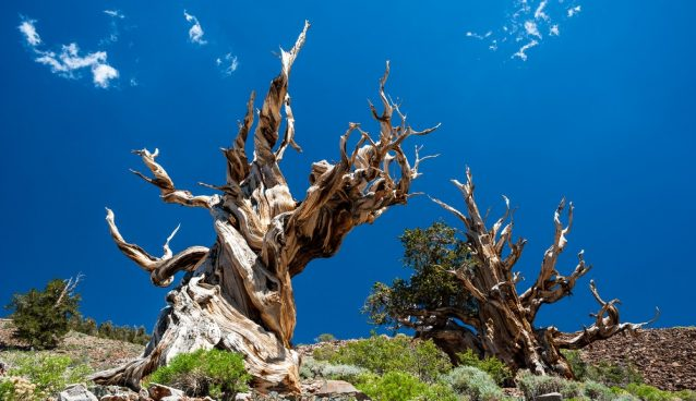 oldest living trees in the world
